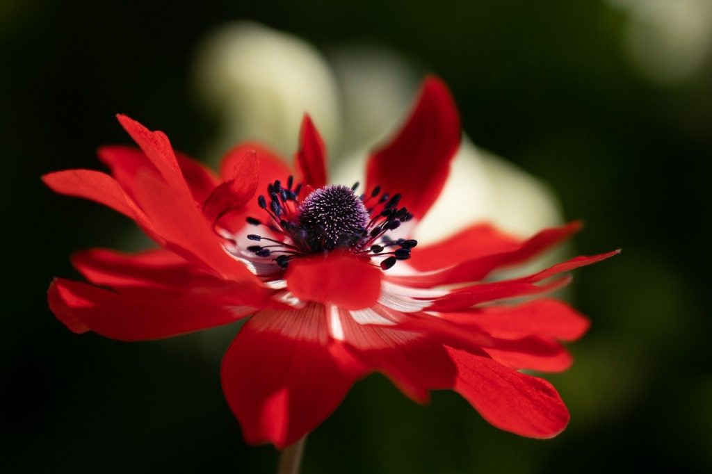 anemone, flower, red flower-6288318.jpg