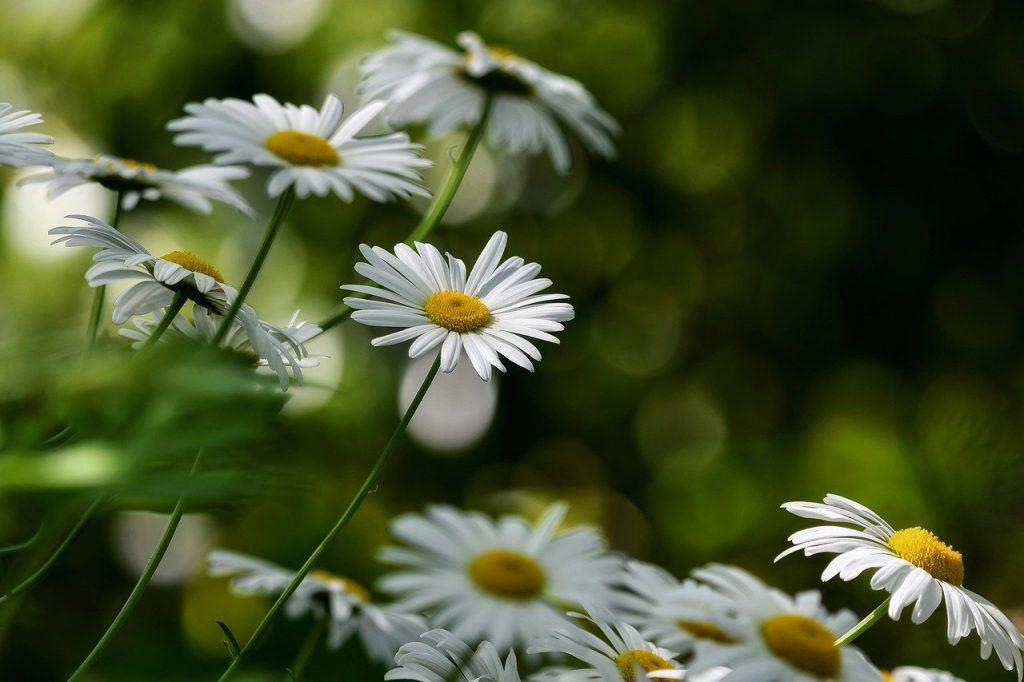 flowers, daisies, white daisies-6300441.jpg