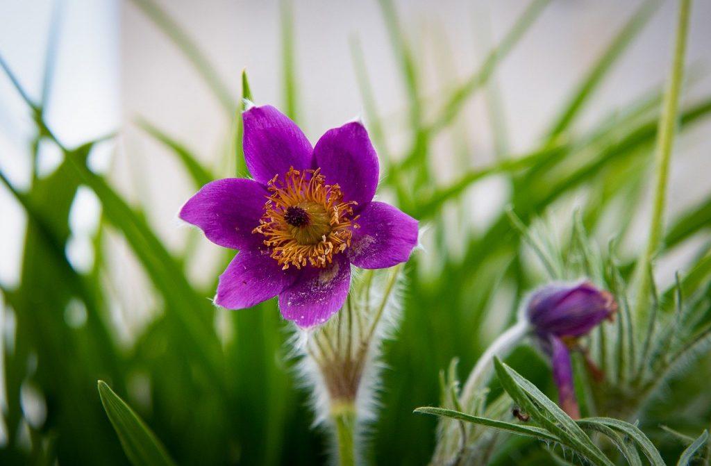 pasqueflower, purple flower, pulsatilla vulgaris-6290131.jpg