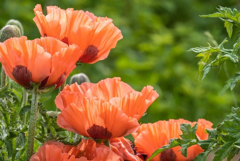 poppy, flowers, plant-6307037.jpg